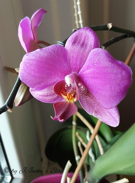 eine meiner leidenschaften sind orchideen jjackysblog. Black Bedroom Furniture Sets. Home Design Ideas