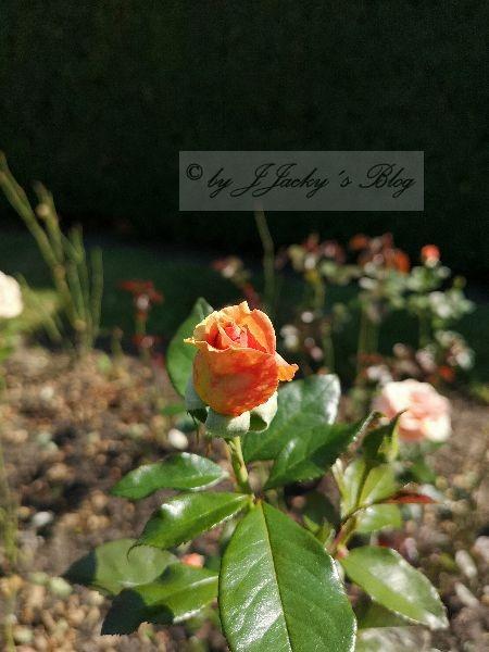Britzer Garten Roses